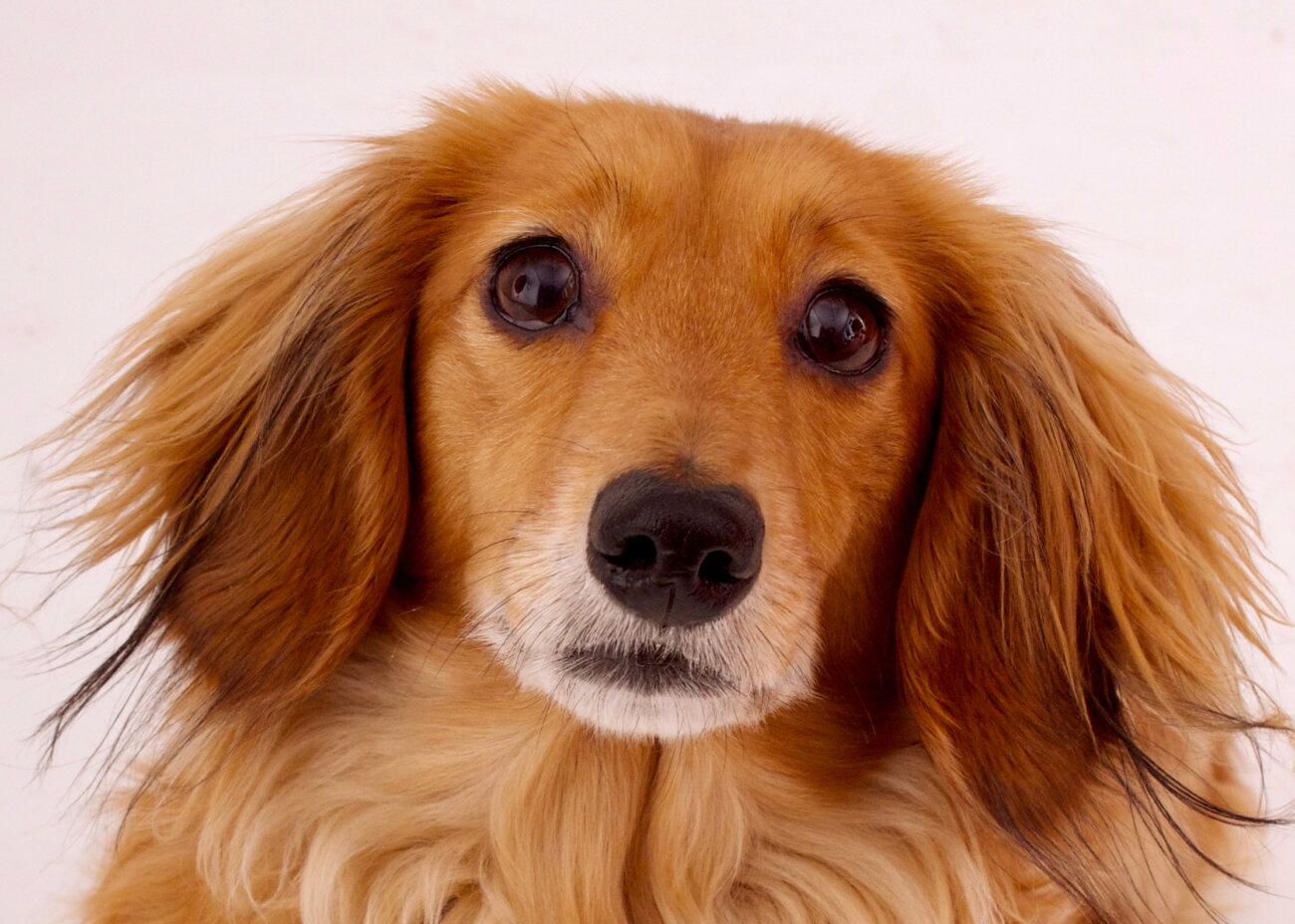 ダックスフンド,愛玩動物飼養管理士