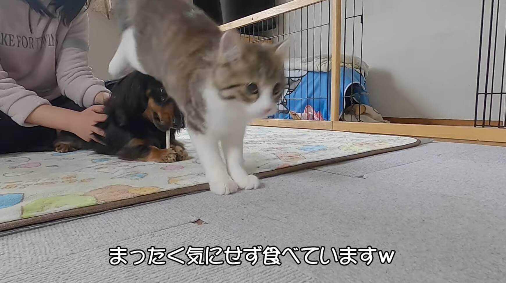 ダックスフンド,動画